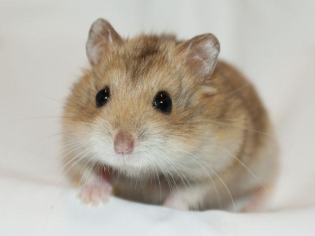 寵物過敏退散 鏟屎官愛心不打烊 倉鼠