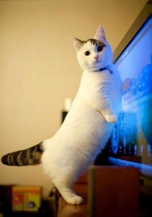 曼赤肯貓 小短腿榮登貓界最萌 序