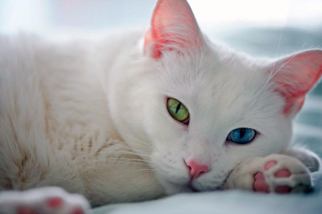 泰國曼尼貓 皇室的白色寶石 貓書詩