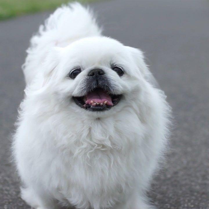 狗狗進化論 最接近狼的汪星人 北京犬