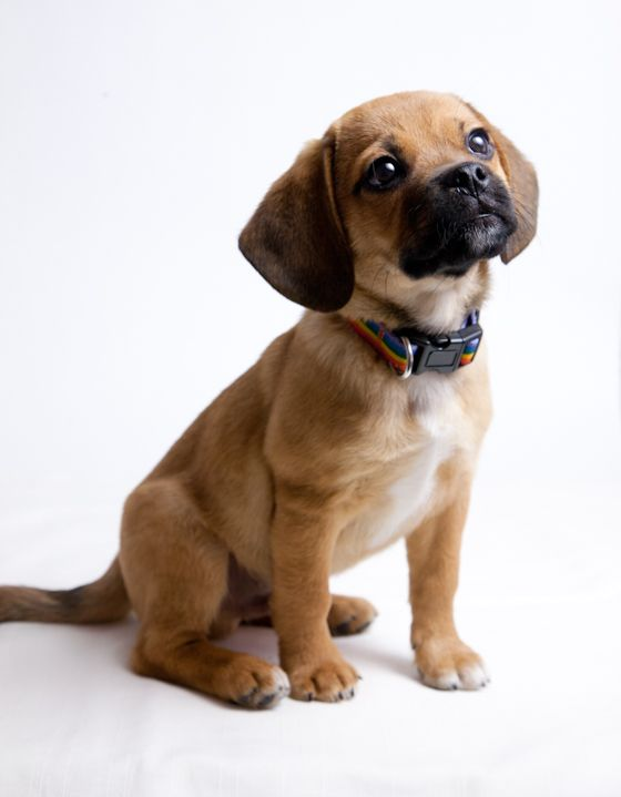 狗狗社交 八面玲瓏的交際高手 巴格