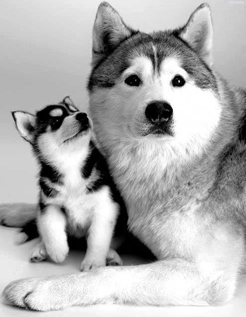 狗狗社交 八面玲瓏的交際高手 二哈