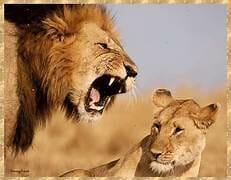 萬獸之王獅子仆街居然是因為看到了奶…大聲吼