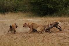 萬獸之王獅子仆街居然是因為看到了奶…狩獵