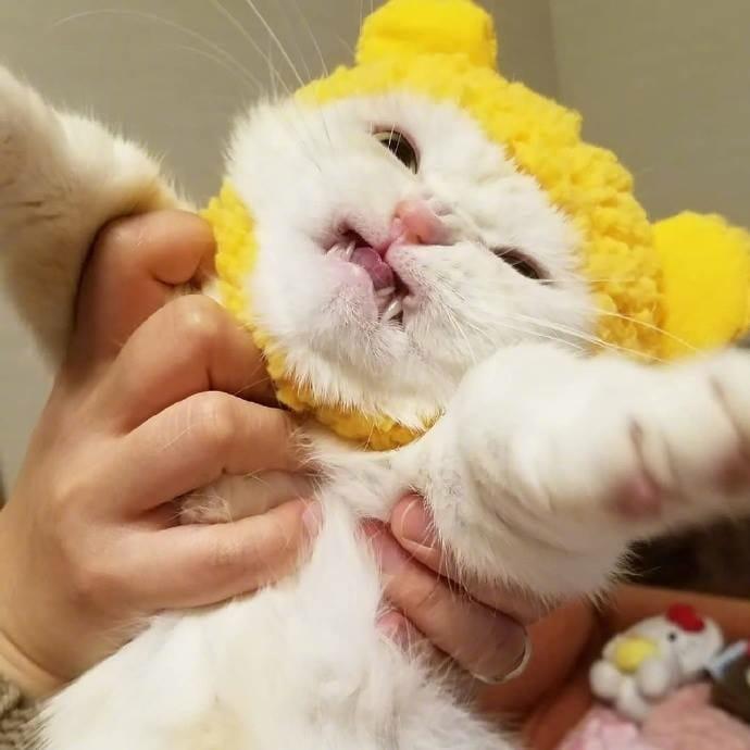 貓咪 試穿了貓奴新買的帽子..牠好痛苦 你怎麼可以這樣對待主子