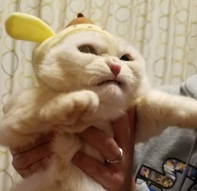 貓咪 試穿了貓奴新買的帽子..牠好痛苦 你們完蛋了