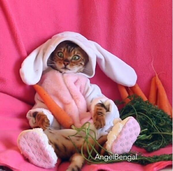孟加拉豹貓 Angel 奢侈貴婦SPA讓人好羨慕