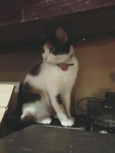 貓咪咖啡廳 超人氣排行榜-躲在角落的貓
