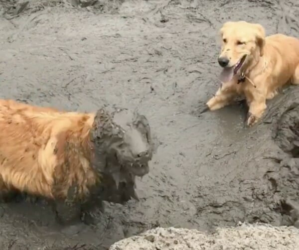 髒髒包 傻黃金獵犬還懂保養火山泥面膜 你噴到我了啦