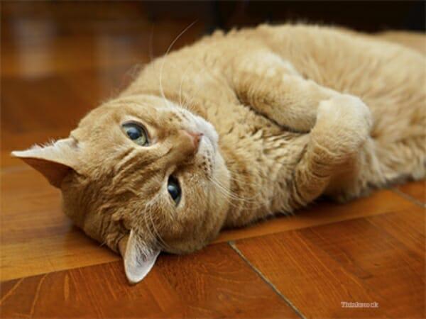 貓咪的甲狀腺機能亢進症