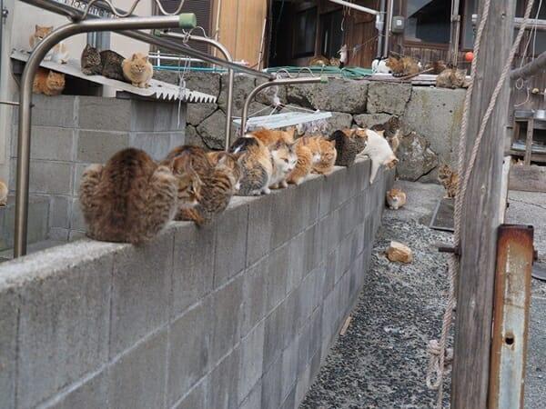 貓奴 必去日本田代島 守規矩的休息著
