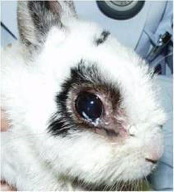 :寵物兔 的正確照顧方式 鼻淚管阻塞