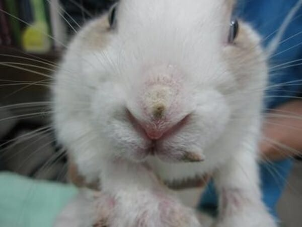寵物兔 的正確照顧方式 疥癬感染