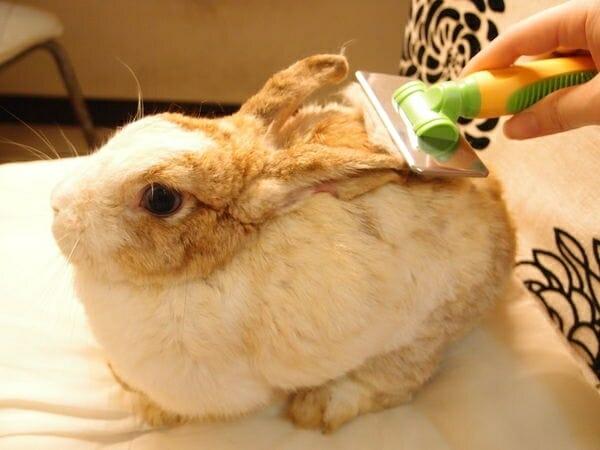 寵物兔 的正確照顧方式 兔兔也需要梳毛的喔!