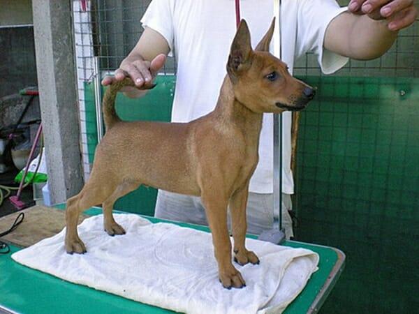 台灣犬 台灣土狗正名了! 小時候就很有架勢