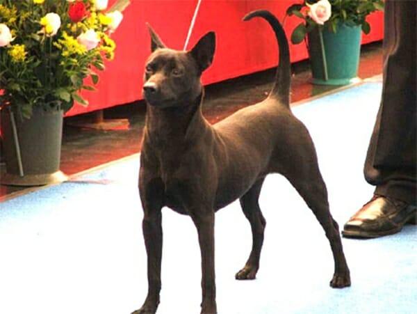 台灣犬 台灣土狗正名了! 看看牠們的體態,怎麼看都覺得帥