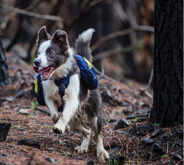 牧羊犬 智利森林的救星 看看牠們開心的模樣