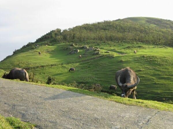 拉不拉多 之山看牠靜靜的趴在那 哇!真的是牛群耶!