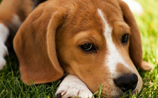 狗狗 犬椎間盤疾病 一有狀況一定要馬上就醫