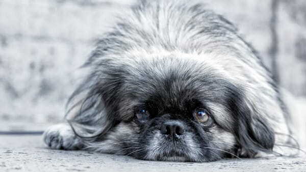 狗狗 犬椎間盤疾病 年紀大的狗也有可能