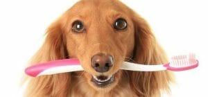 狗狗嘴臭 怎麼辦?從小讓牠們習慣刷牙