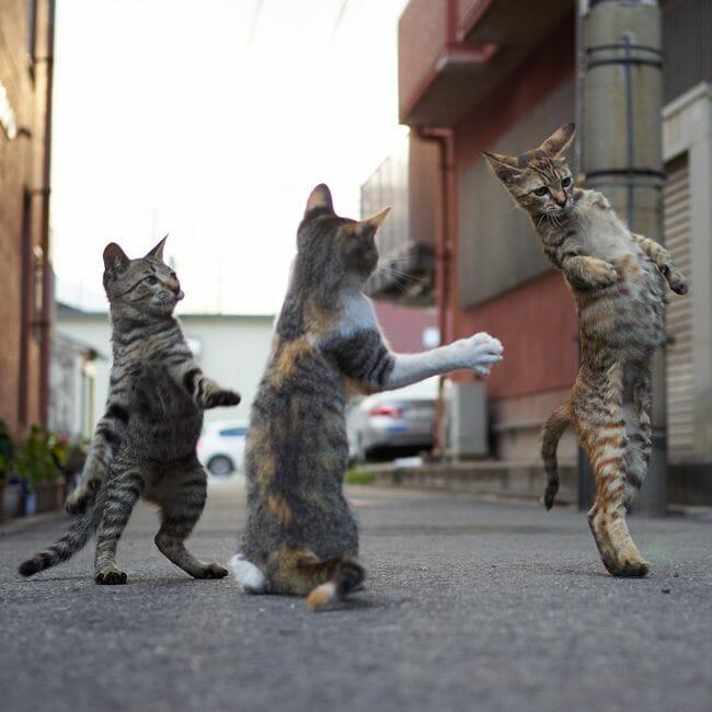 貓咪打架 鏟屎官如何巧妙化解 室外
