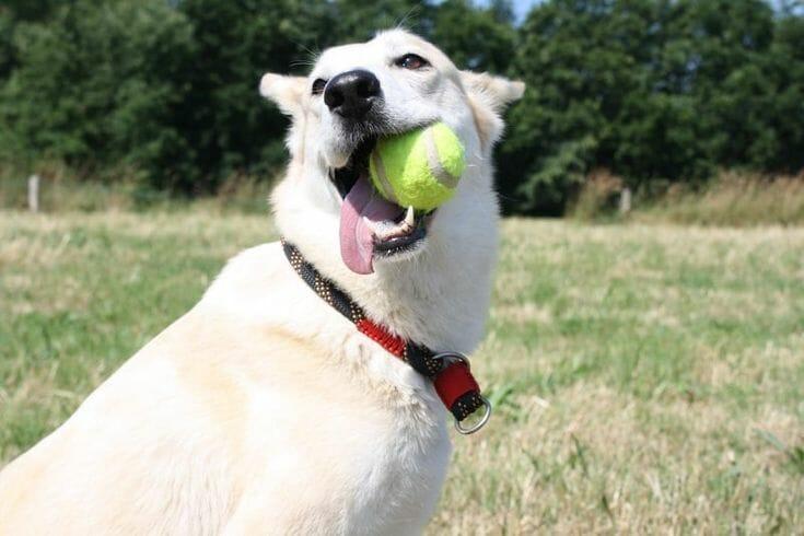 照顧狗狗 訓練教育的九大迷思 原來老狗還是擁有學習的能力 玩耍