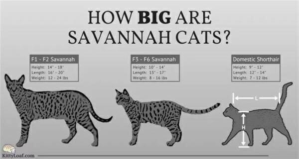 薩凡納貓 蝴蝶耳萌度爆表 比較圖