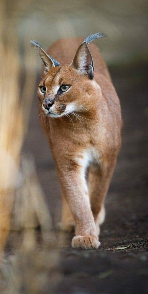 貓咪界精靈萌到連法老王也融化的獰貓 有型
