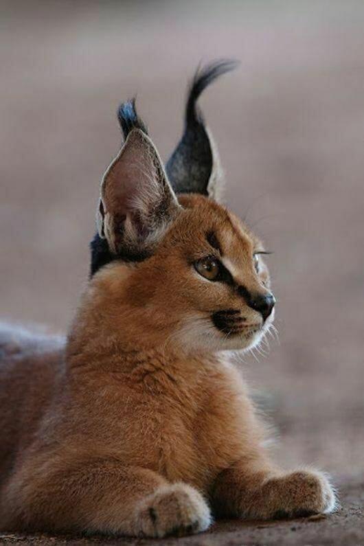 貓咪界精靈萌到連法老王也融化的獰貓 炸毛