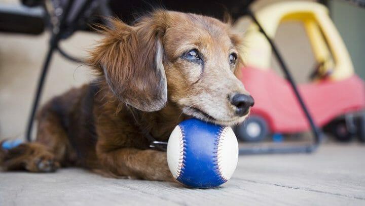 照顧狗狗 訓練教育的九大迷思 原來老狗還是擁有學習的能力 老狗