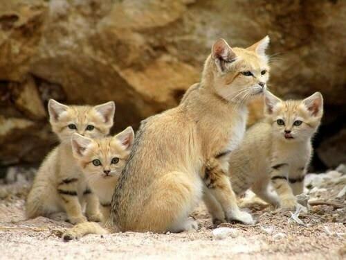 沙漠貓 呆萌大頭下雨不愁 一家人
