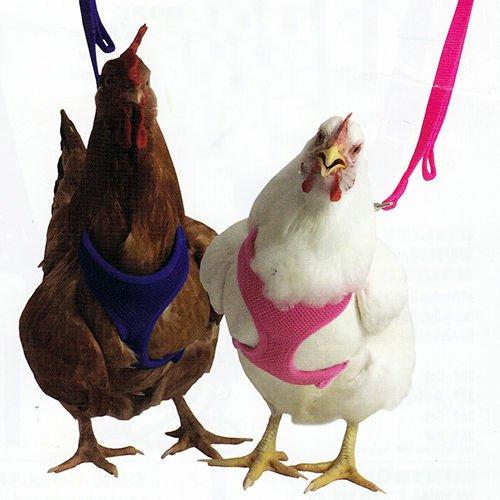 寵物雞 專用胸背帶驚喜登場 胸背帶
