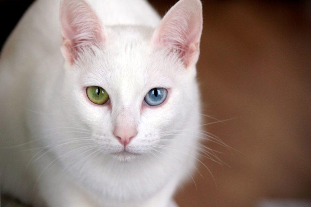 泰國曼尼貓 皇室的白色寶石 序