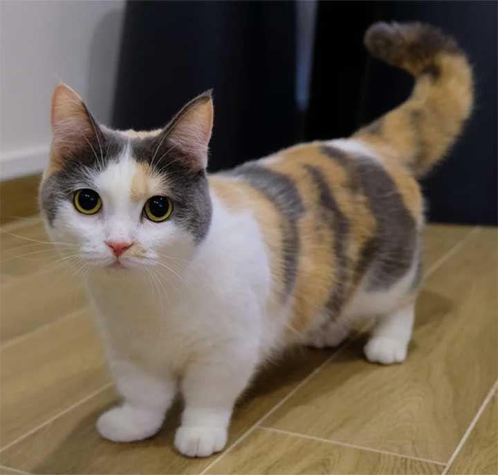 曼赤肯貓 小短腿榮登貓界最萌 爭議