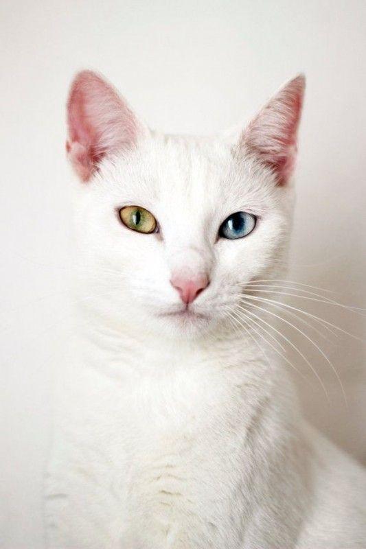 泰國曼尼貓 皇室的白色寶石 異色瞳