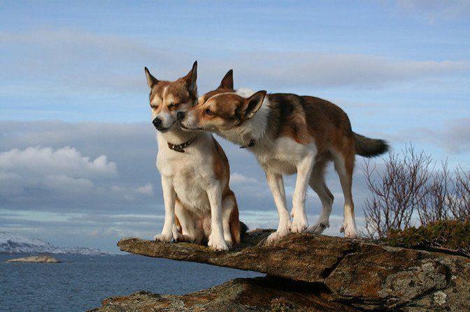 挪威海鸚犬 瀕臨絕種的六指汪星人 消化系統