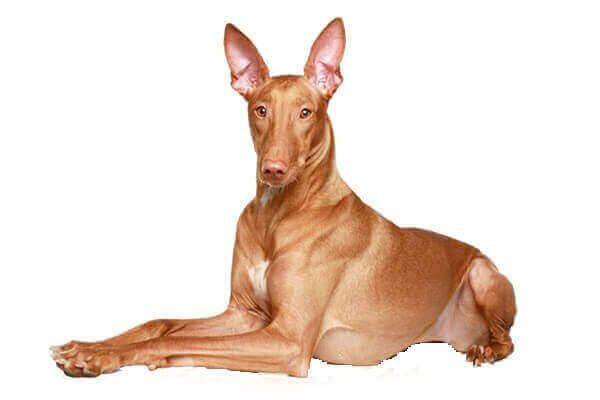 法老王獵犬 千年不變的古埃及鐵衛 護衛