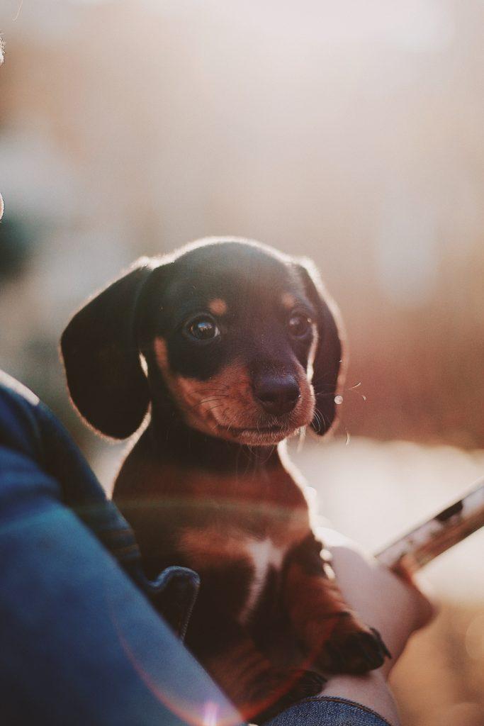 臘腸犬 脊椎疾病?五大重點預防椎間盤突出! 小臘腸正確抱法