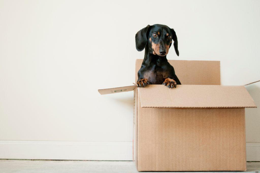 臘腸犬 脊椎疾病?五大重點預防椎間盤突出! 臘腸在箱子裡面