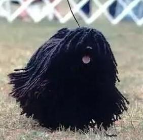 長得像拖把的匈牙利名犬?! 可蒙犬和波利犬介紹-黑色小拖把