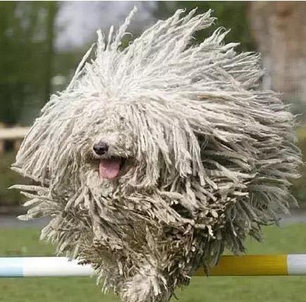 長得像拖把的匈牙利名犬?! 可蒙犬和波利犬介紹-起飛