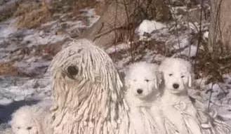 長得像拖把的匈牙利名犬?! 可蒙犬和波利犬介紹-成犬幼犬