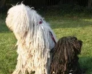 可蒙犬和波利犬介紹-對比