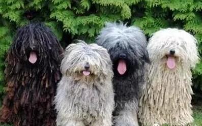 可蒙犬和波利犬介紹-各種顏色